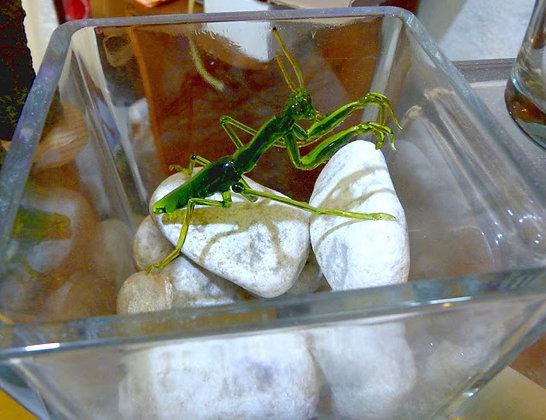 Mantis vidrio reciclado