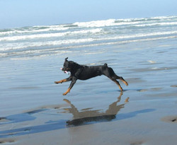 Jazz about 18 months old at Bandon Oregon