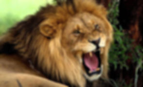 roaring lion photo site title.jpg