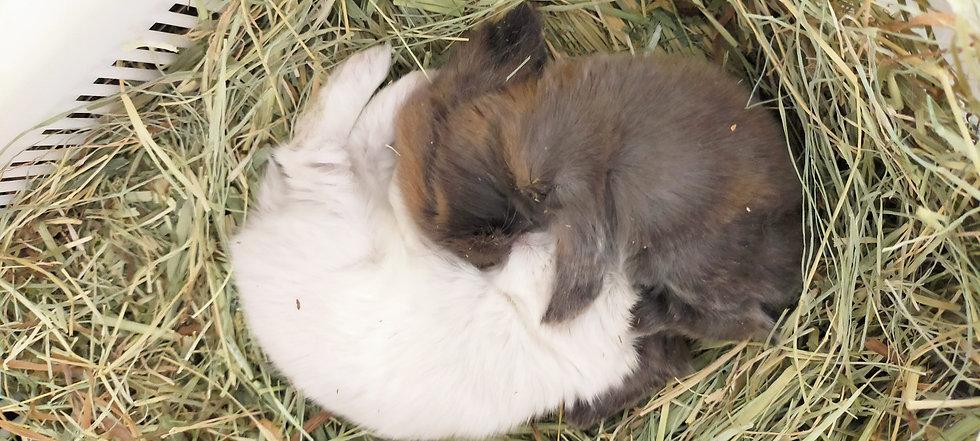 うさぎ専門の子ウサギ
