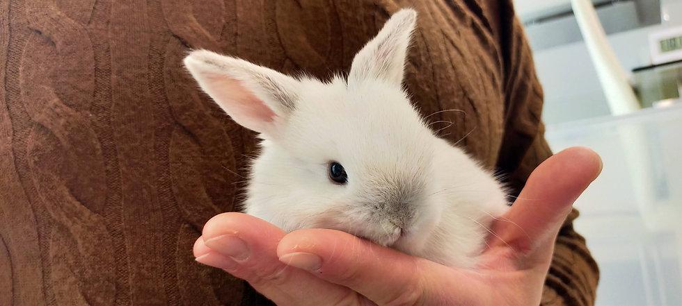 ラビットハウスナイアの子ウサギ