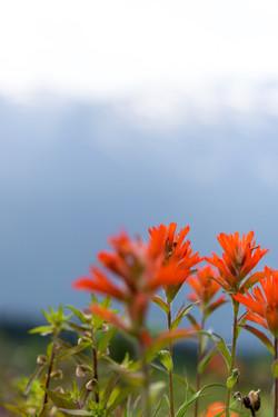Scarlett Paintbrush - Landscape Photography