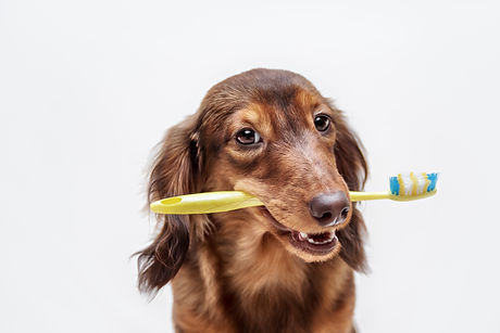 Dachshund dog with a toothbrush.jpg