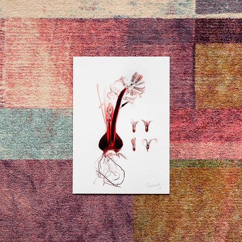 Hyacinthus (Granat) Artwork
