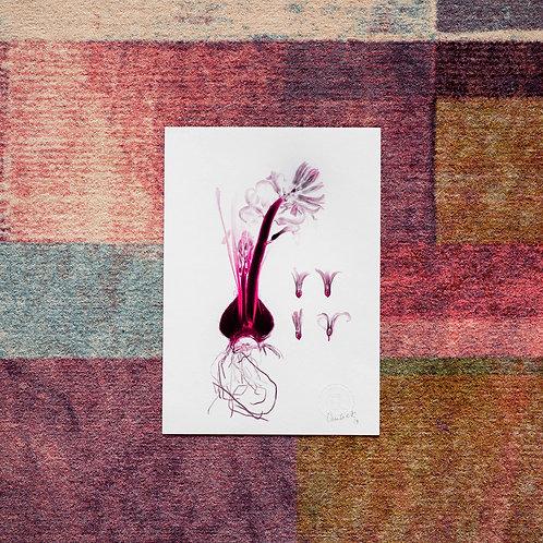 Hyacinthus (Ruby) Artwork