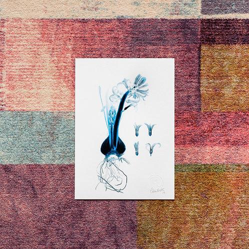 Hyacinthus (Safir) Artwork