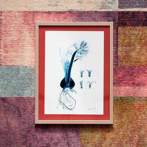 Hyacinthus (Safir) Framed Artwork