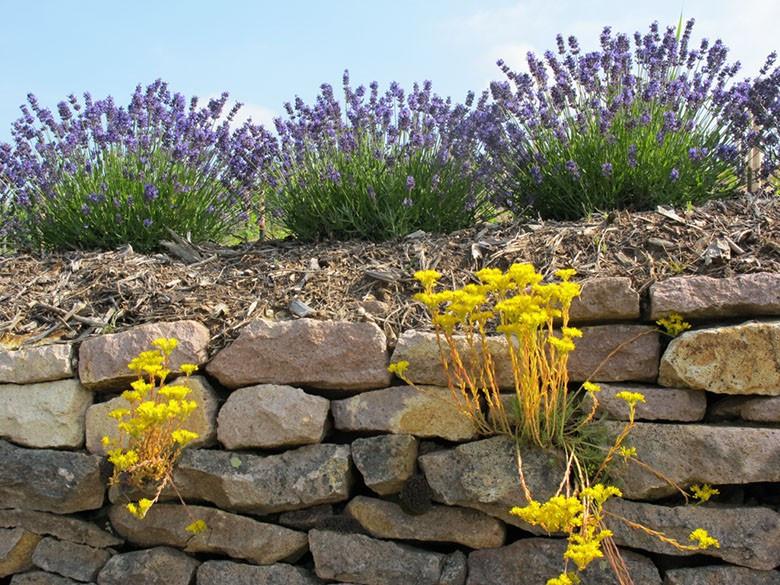 Trockenmauer zur Lavendelblüte