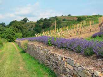 Trockenmauer, Lavendel & Wein