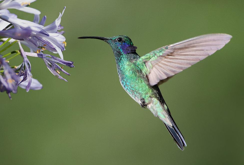 Lesser violetear in flight
