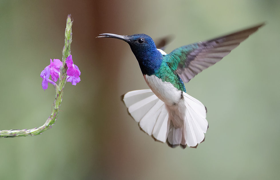 White-necked jacobin male with verbena flowers