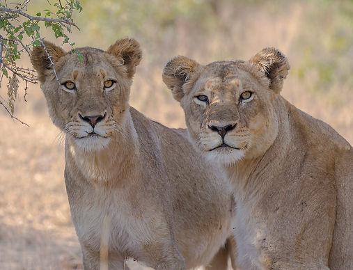 Leeuwen openen de jacht