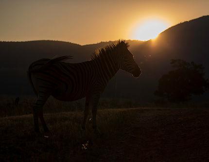 Zebra in tegenlicht