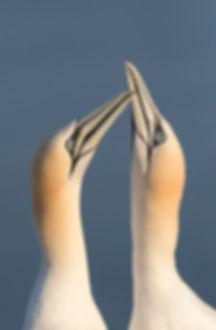 Jan-van-gent: baltsend met de snavels omhoog