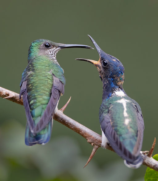 Juvenile white-necked jacobin begging for food by its mum