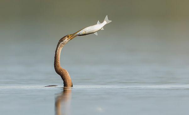 Slangenhalsvogel heeft beet