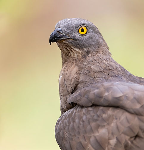 Honey buzzard Wespendief