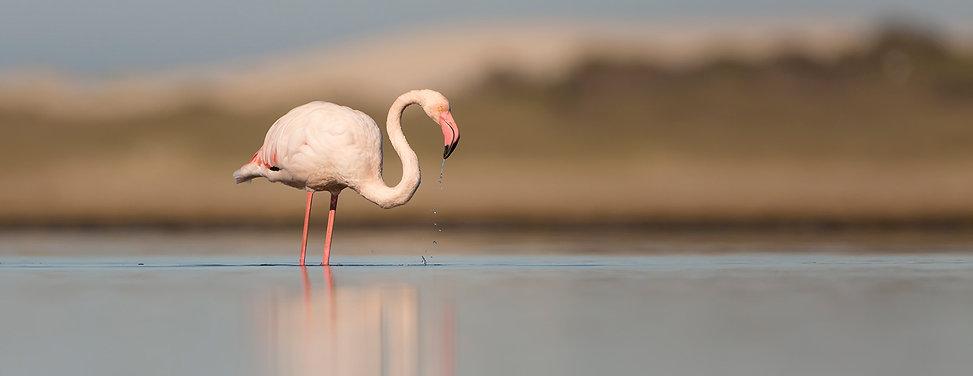Flamingo foerageert bij Hermanus