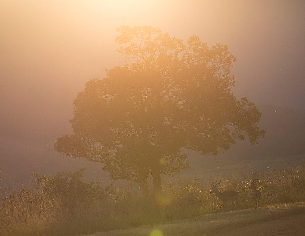 Impala en pecan in tegenlicht