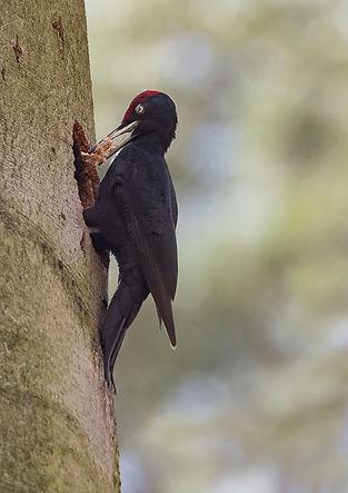 Black woodpecker male chopping a nest 1