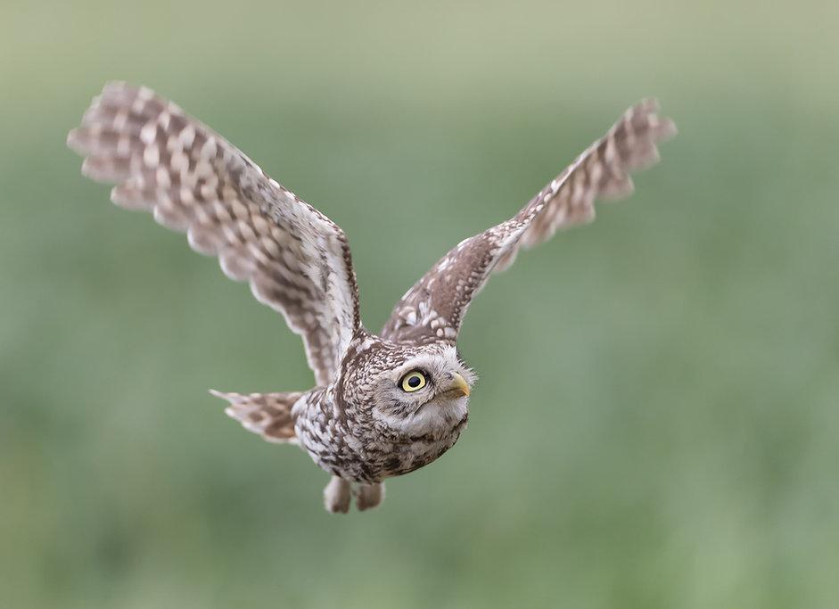 Steenuil blijft alert tijdens de vlucht
