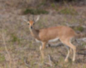Steenbok man