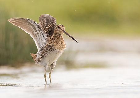 Watersnip take-off