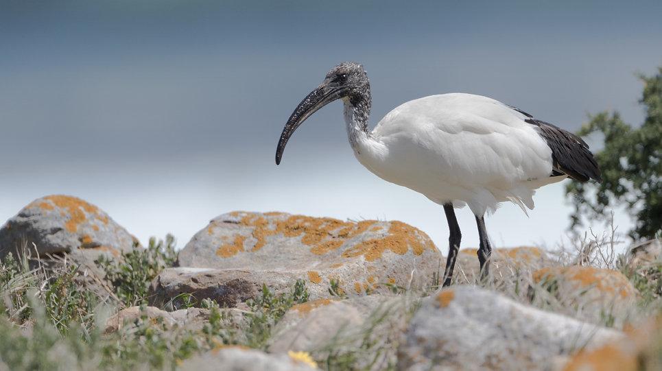 Heilige ibis: aan de Atlantische kust bij Kaap de Goede Hoop
