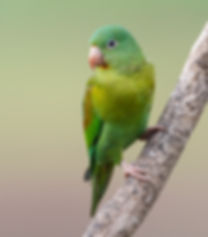 Orange-chinned-parakeet.jpg