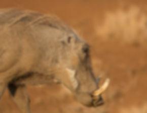 Wrattenzwijn kopportret