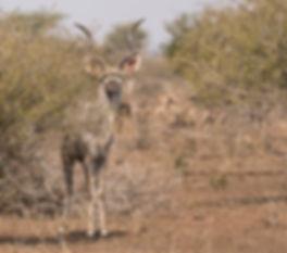 Kudu volwassen man is beoogd prooi
