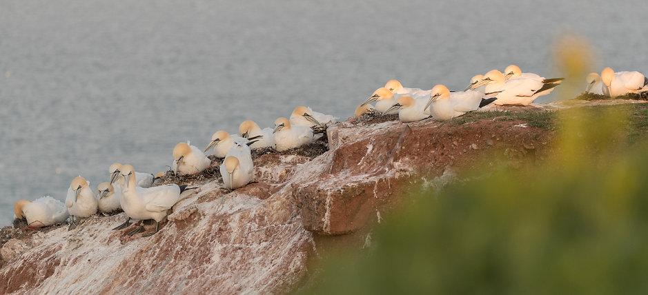 Jan-van-gent: nesten op de klippen