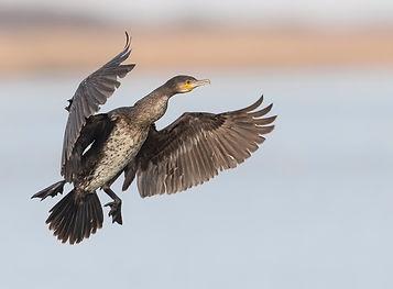 Aalscholver-aanvliegend.jpg