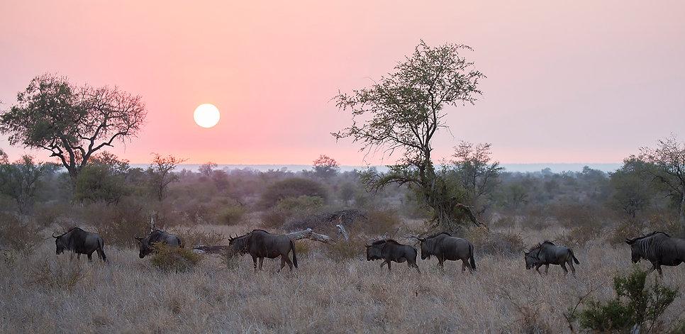 Gnoes lopen naar de zonsondergang in centraal Kruger NP
