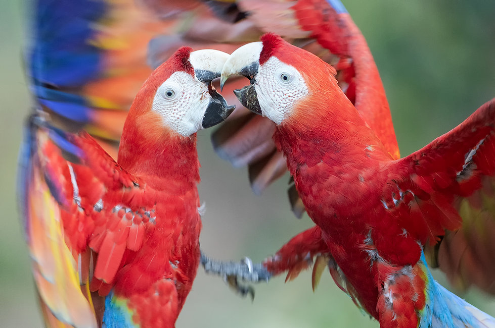 Scarlet macaws in a fight