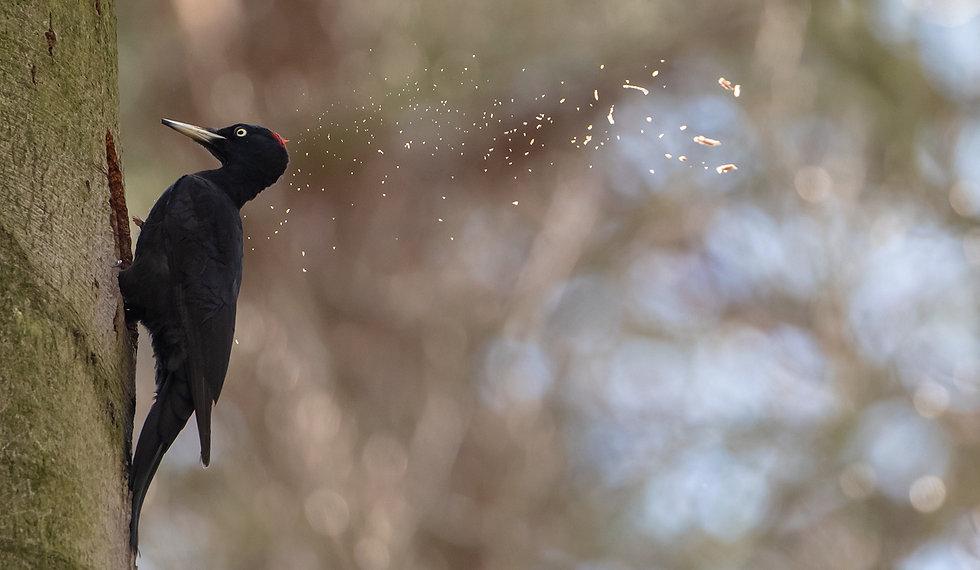 Black woodpecker female chopping a nest 4