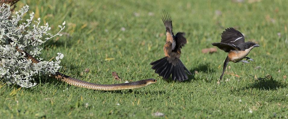 Waterfiskalen hebben onderonsje met Kaapse cobra