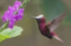 Snowcap male wit verbena flowers