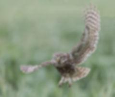 Steenuil aanvliegend