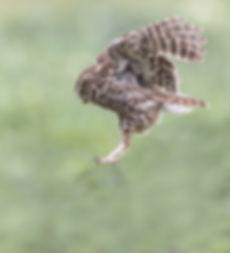 Steenuiltje slaat zijn vleugels uitSteenuil met muis klemvast