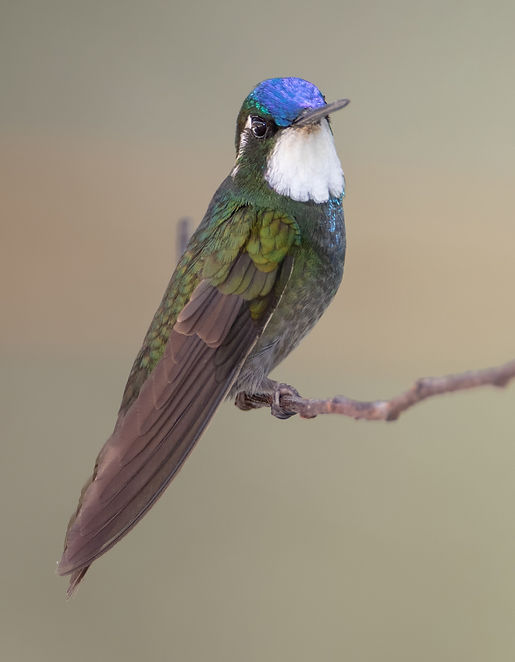 White-throated mountain-gem male