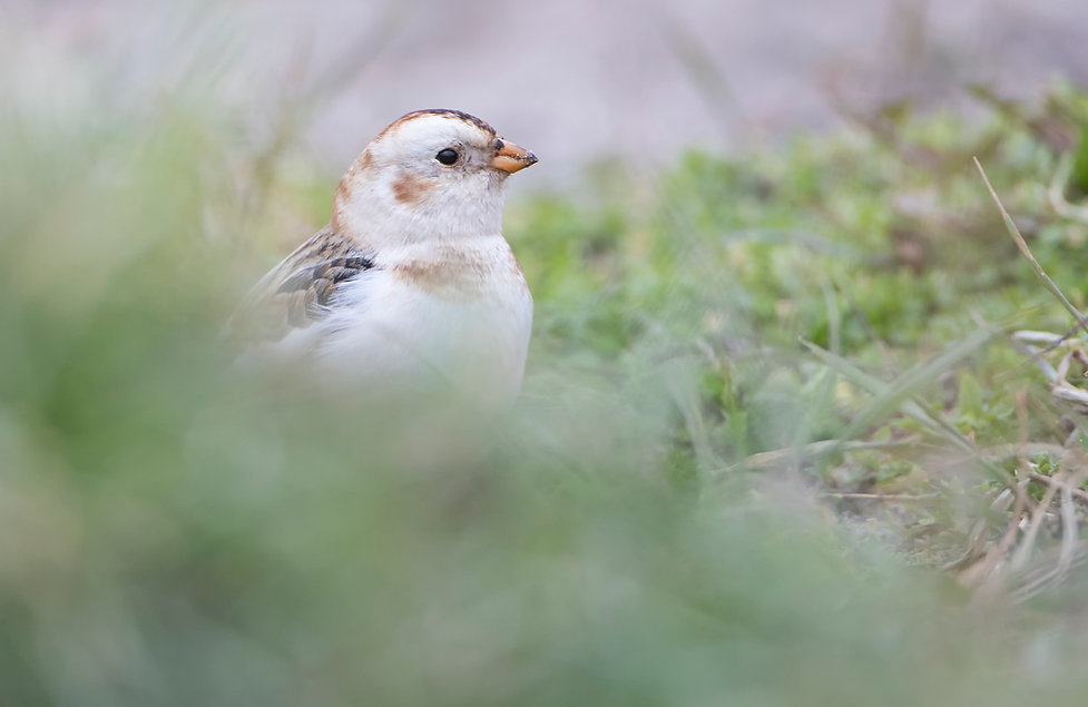 Snow bunting hidden in grassy slopes