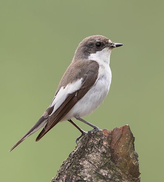 European pied flycatcher male