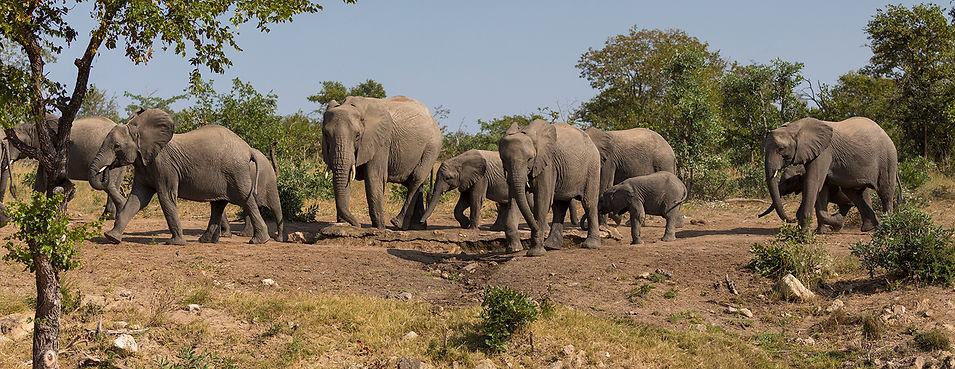 Olifant: kudde bij Timbavati