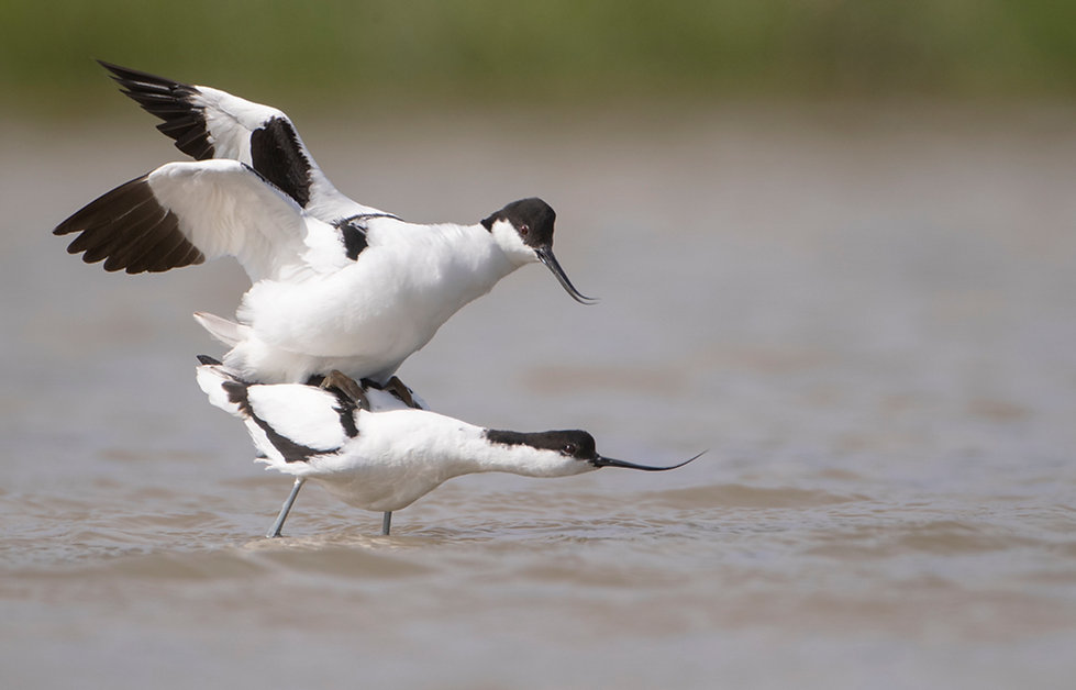 Mating of pied avocets