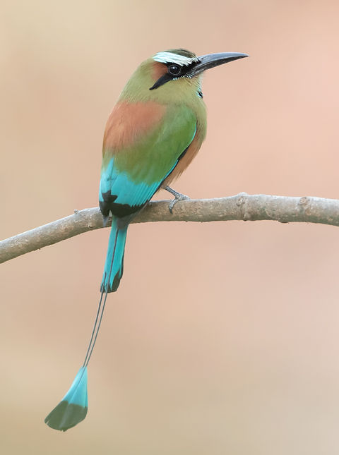 Turquoise-browed motmot against a sandy background