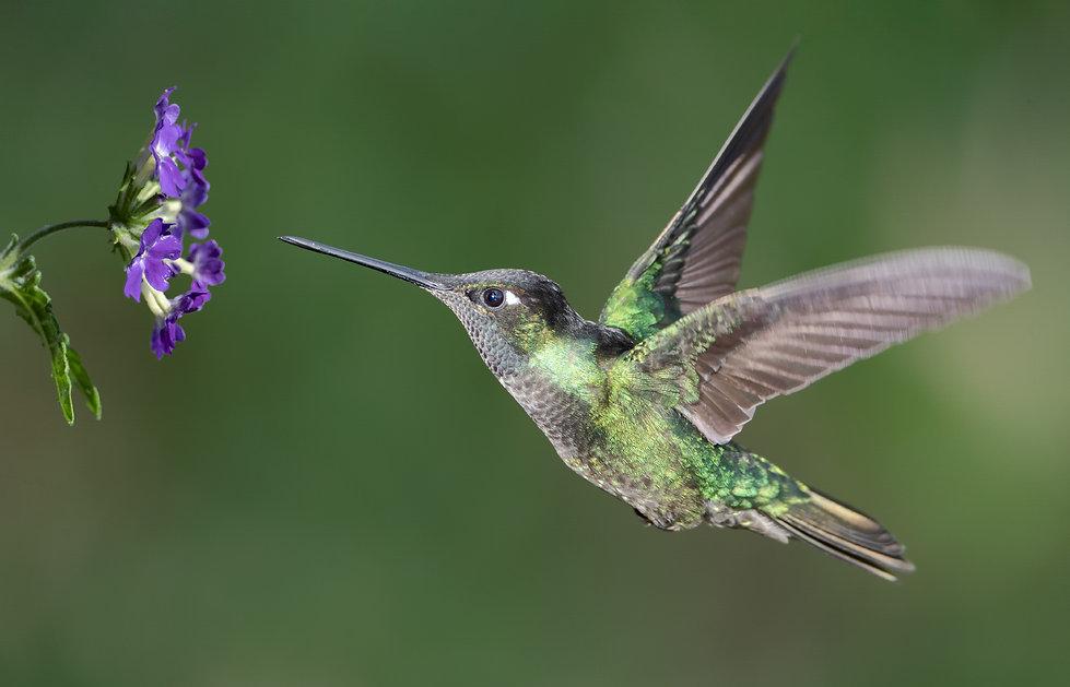 Talamanca hummingbird in flight