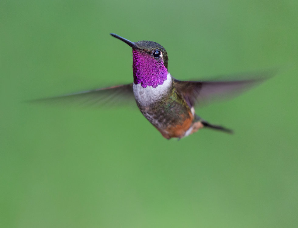 Magenta-throated-woodstar-male.jpg