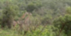 Giraffes in het groen in zuidelijk Kruger NP