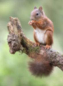 Eekhoorn verticaal met mooie staart